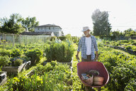 Senior man with wheelbarrow in sunny vegetable garden - HEROF28432