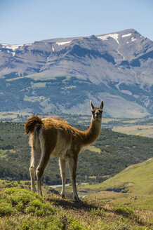 Chile, Patagonia, Torres del Paine National Park, Guanaco - RUNF01497