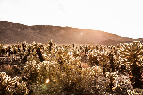 Backlit cacti and distant mountains, Joshua Tree, California, USA - CUF49804