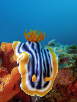 Pyjama slug, Chromodoris quadricolor - GNF01466