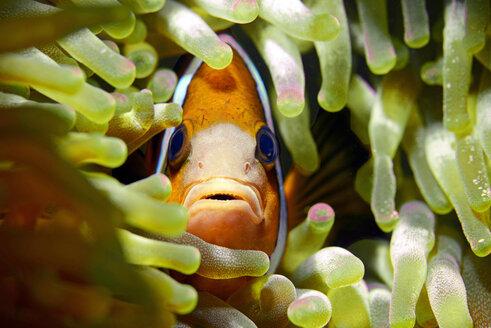 Clarks Anemonenfisch, Cebu, Philippinen - GNF01472