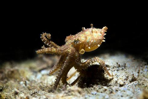 blaugeringelte Kraken, beim Nackttauchgang | Hapalochlaena lunulata, Hapalochlaena, Octopodidae - GNF01478