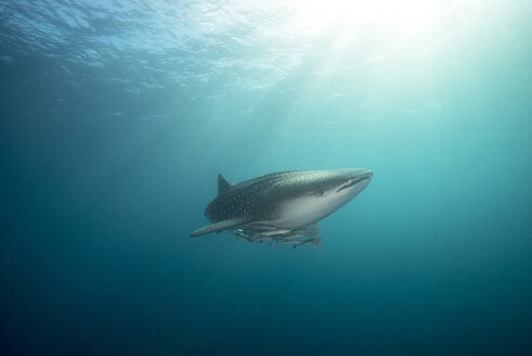Whale shark with cleaner fish - GNF01484