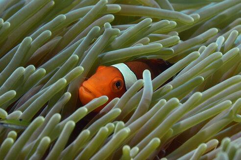 Westlicher Clownfisch in einer Anemone | Amphiprion ocellaris; Pomacentridae - GNF01490