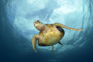 Green Sea Turtle, Chelonia mydas - GNF01505