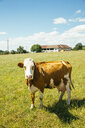 Austria, Upper Austria, Muehlviertel, portrait of cow on a pasture - AIF00630