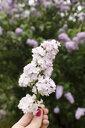 Hand holding lilac, Syringa - EYAF00016