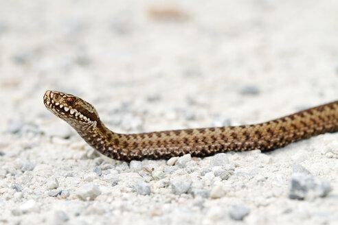Common viper, Vipera berus - ZCF00714