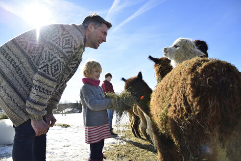Father and daughter feeding alpacas with hay on a field in winter - ECPF00579