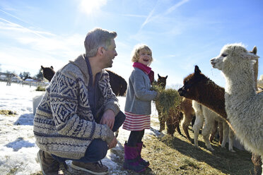 Happy father and daughter feeding alpacas with hay on a field in winter - ECPF00582