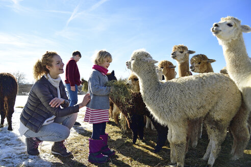 Family feeding alpacas with hay on a field in winter - ECPF00585