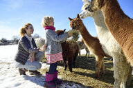 Mother and daughter feeding alpacas with hay on a field in winter - ECPF00588