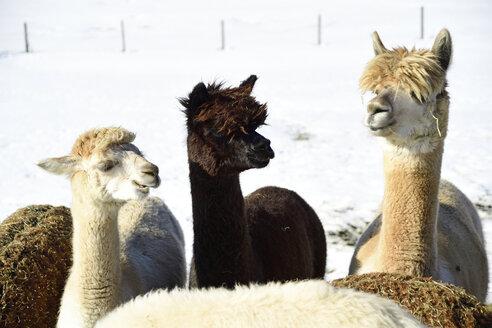 Herd of alpacas outdoors in winter - ECPF00591