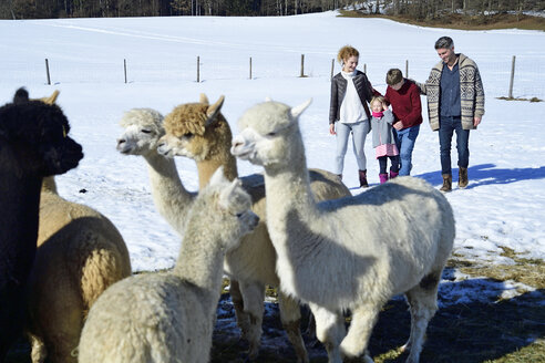 Family walking on a field with alpacas in winter - ECPF00594