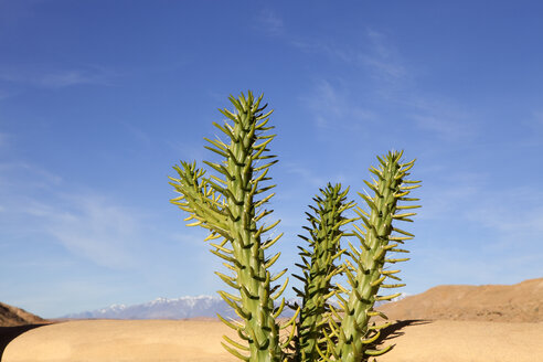 Morocco, Ounila Valley, succulent plant in front of Atlas mountains - PSTF00385
