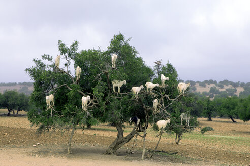 Morocco, Sidi Kaouki, goats climbing on argan tree - PSTF00427