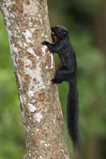 Malaysia, Borneo, Sepilok, Prevost's squirrel at tree trunk - ZC00750