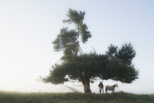 Donkey and horse standing under rural tree - FSIF03880