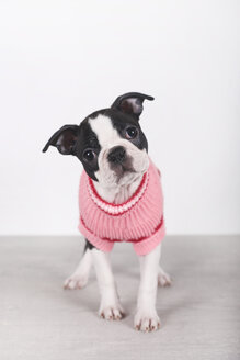 Portrait of Boston terrier puppy wearing pink pullover - RTBF01298