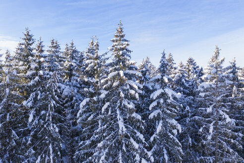 Germany, Bavaria, snowy spruce forest - SIEF08474