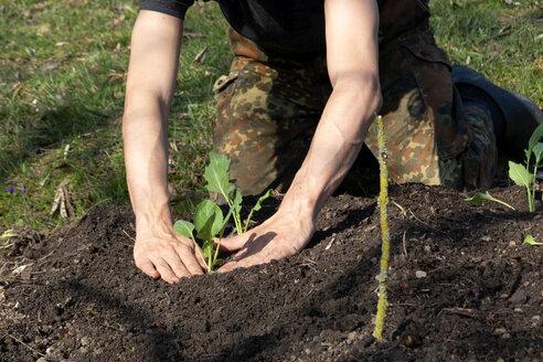 Man planting kohlrabi - NDF00867