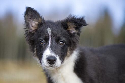 Portrait of Border Collie puppy - MJOF01689