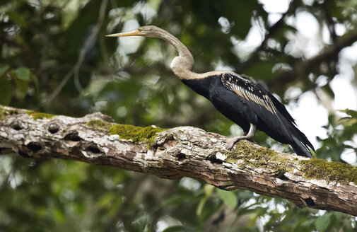 Borneo, Anhinga melanogaster, Darter perching on a branch - ZC00757