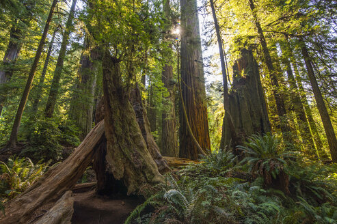 USA, California, Redwood State Park, giant redwood trees - RUNF01723
