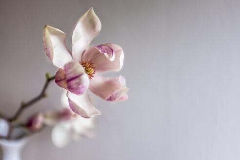Magnolia blossom - MHF00506