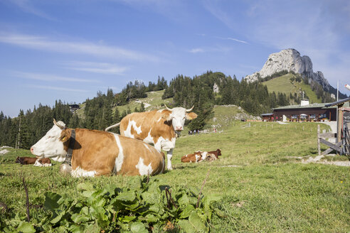 Kühe vor der Sonnenalm, Kampenwand, Chiemgauer Alpen, Bayern, Deutschland - MAMF00511