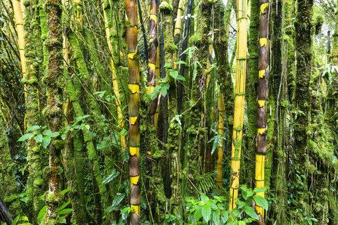 USA, Hawaii, Big Island, Akaka Falls State Park, bamboo forest - FOF10501