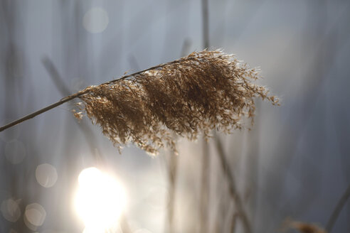 Reed against sunlight at a lake - JTF01204