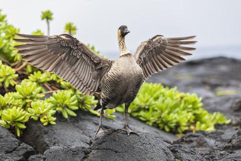 USA, Hawaii, Big Island, Volcanoes National Park, Hawaiian goose spreading wings - FOF10559