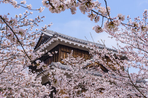 Japan, Shikoku, Matsuyama, view to Matsuyama castle with pink cherry blossoms in the foreground - RUNF01794