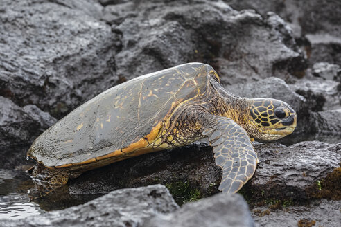 USA, Hawaii, Big Island, Green Sea Turtle on Punalu'u Black Sand Beach - FOF10572