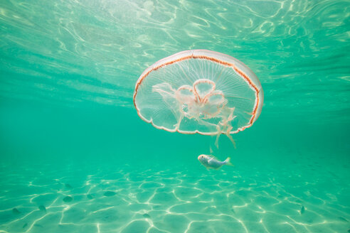 Moon jellyfish harbouring baby fish for protection against predators - ISF21082