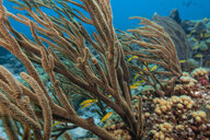 Seascape of soft coral, Curacao - CUF50485