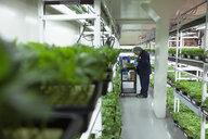 Grower inspecting cannabis seedlings in incubation - HEROF35458