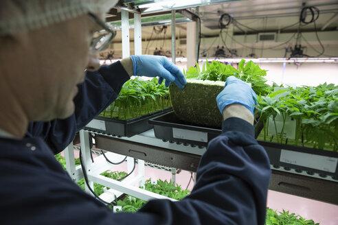Grower inspecting cannabis seedlings in incubation - HEROF35464