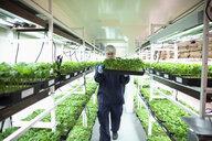 Grower inspecting cannabis seedlings in incubation - HEROF35467