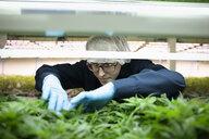 Grower inspecting cannabis seedlings in incubation - HEROF35479