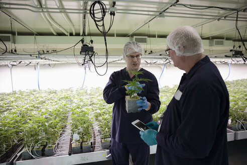 Growers inspecting cannabis plant - HEROF35485