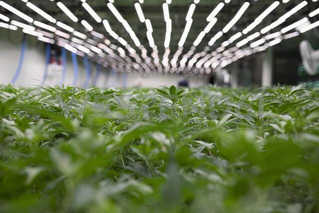 Cannabis plants growing indoors - HEROF35491 - Hero Images/Westend61