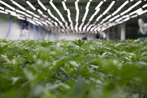 Cannabis plants growing indoors - HEROF35491
