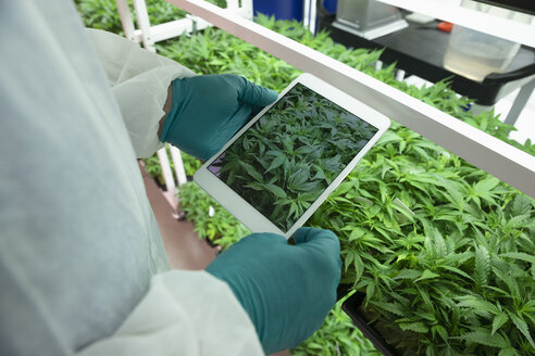 Grower with digital tablet photographing cannabis plants - HEROF35494