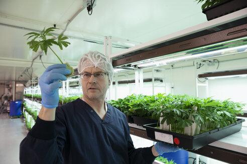 Grower examining cannabis seedlings in incubation - HEROF35497