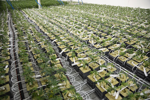 Cannabis plants growing in greenhouse - HEROF35509