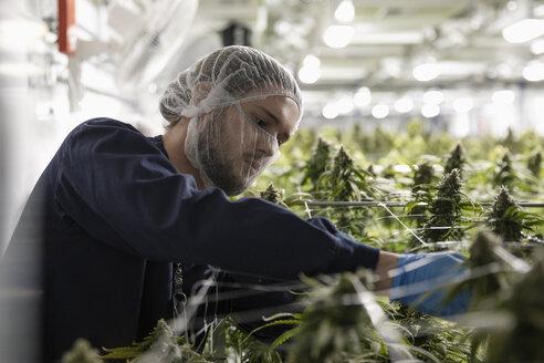 Grower checking cannabis plants - HEROF35518