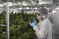 Grower in clean suit inspecting cannabis plants - HEROF35524