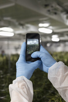 Personal perspective grower with smart phone photographing cannabis plants growing indoors - HEROF35527